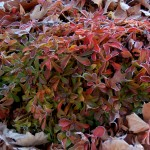 Sedum ellacombianum Serves Up Gummi-Bear-Colored Fall Foliage