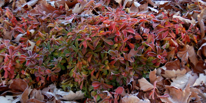 SEDUM ELLACOMBIANUM FALL COLORS