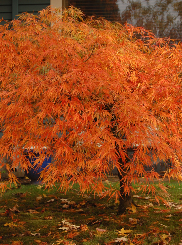 acer palmatum dissectum viridis best japanese maple for fall color