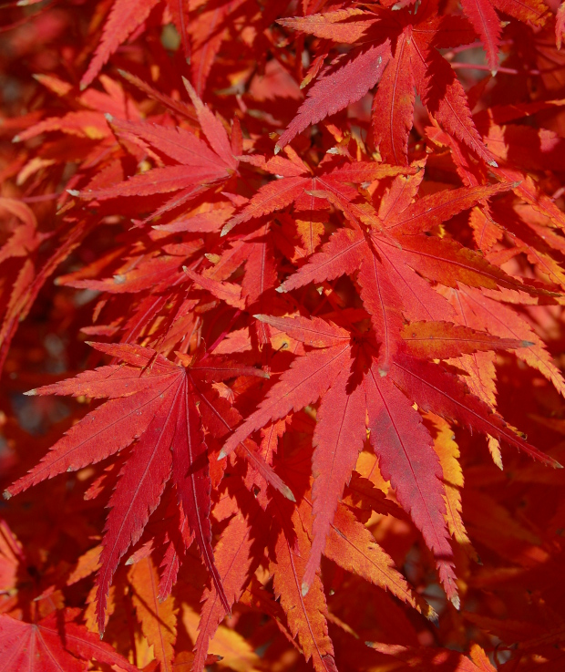 acer palmatum japanese maple green ones best for fall color