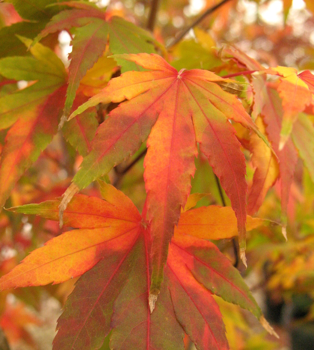 Japanese Maple Colors The World S Best Gardening Blog