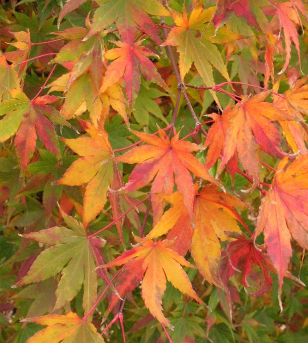 acer palmatum orido nishiki variegated japanese maple