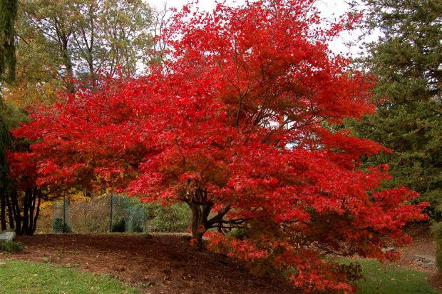 acer palmatum osakazuki fiery red fall color