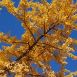 ginkgo biloba yellow in fall