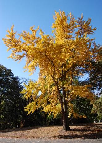 ginkgo biloba yellow foliage