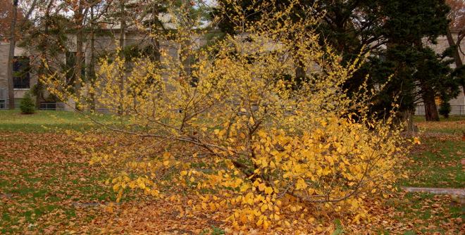 Hamamelis virginiana common witchhazel