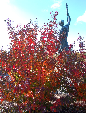Lagerstroemia Crape myrtle has brilliant fall color