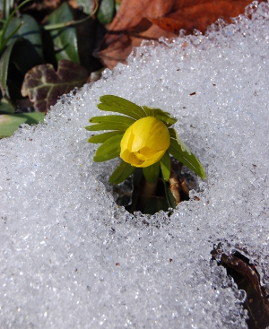 Winter aconite pushes through the snow