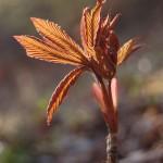 aesculus glabra ohio buckeye leafing out