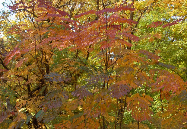 aralia spinosa devils walking stick has great fall color 101712