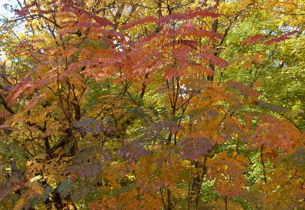 aralia spinosa devils walking stick has great fall color 101712