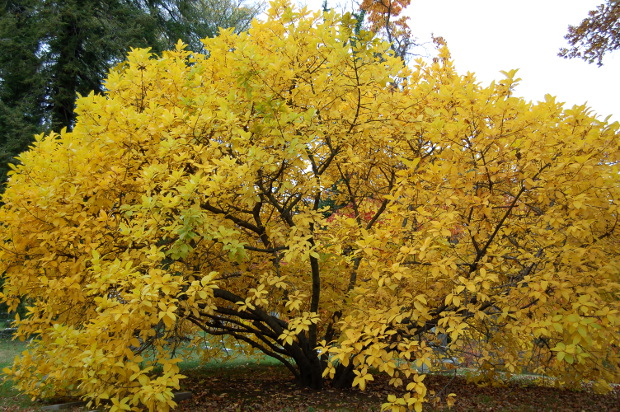 chionanthus virginicus white fringetree has yellow fall color 102609