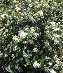 cotoneaster cotton easter