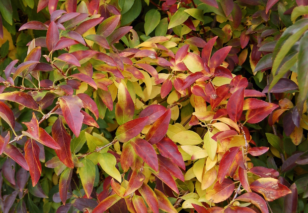 forsythia intermedia has great fall color 110809