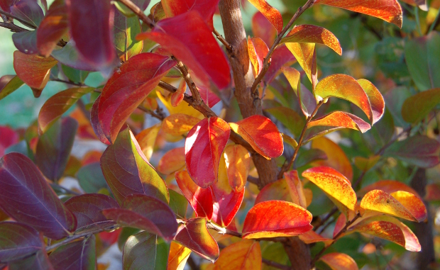 lagerstroemia crape myrtle great fall color 102810 2