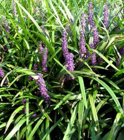 liriope botanical latin