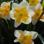 narcissus split cup daffodil