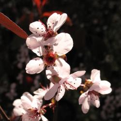 prunus cistina christina plum