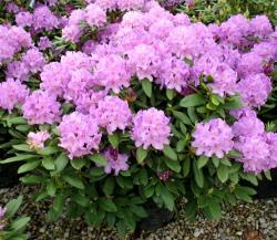 botanical latin rhododendron