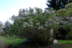 syringa vulgaris common lilac