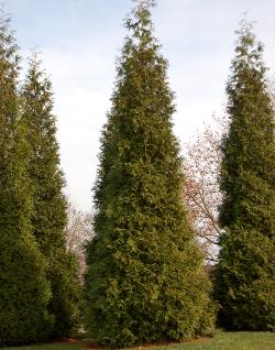 botanical latin thuja plicata