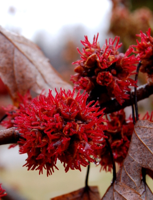 acer saccharinum silver maple flowers