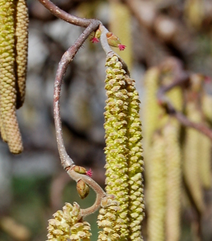 corylus avellana contorta harry lauders walking stick flowers