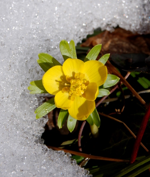 eranthis hyemalis flower winter aconite