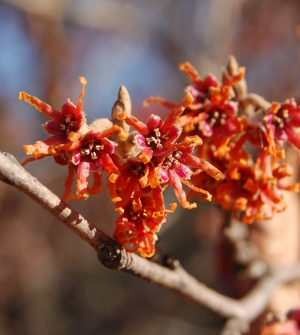 hamamelis vernalis vernal witchhazel blooms