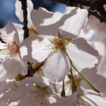 prunus yedoensis yoshino cherry and bloom times