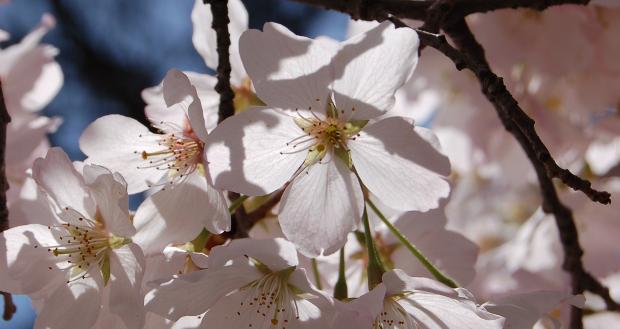 prunus yedoensis yoshino cherry and bloom times