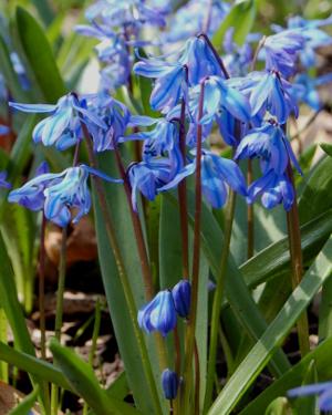 scilla siberica siberian squill flowers