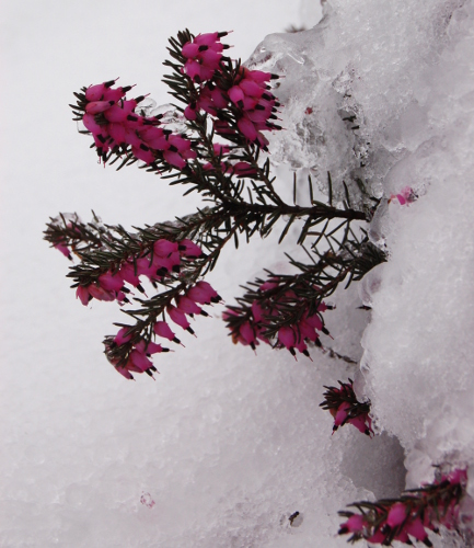 amy campion calluna or erica