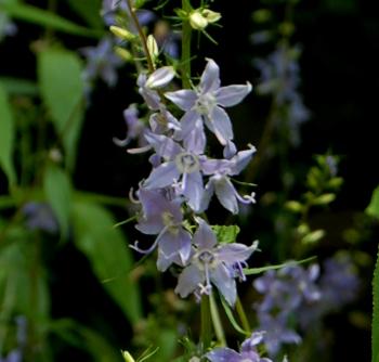 campanulastrum americanum tall bellwort