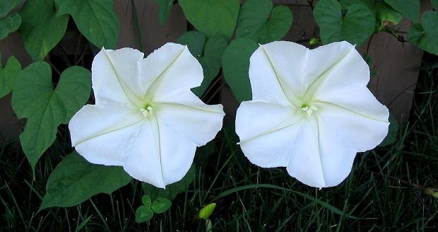 Ipomoea alba, moonflower vine, Wikipedia http://en.wikipedia.org/wiki/Ipomoea_alba