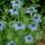 nigella damascena love in a mist flower