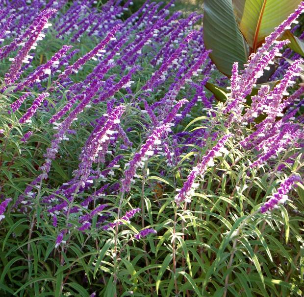 salvia leucantha mexican bush sage