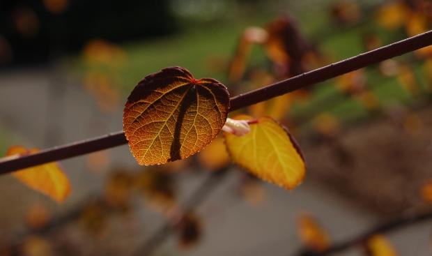 cercidophyllum japonicum backlit
