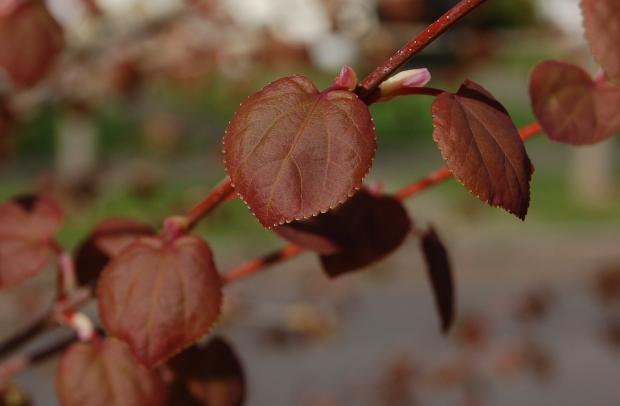 cercidophyllum japonicum head on