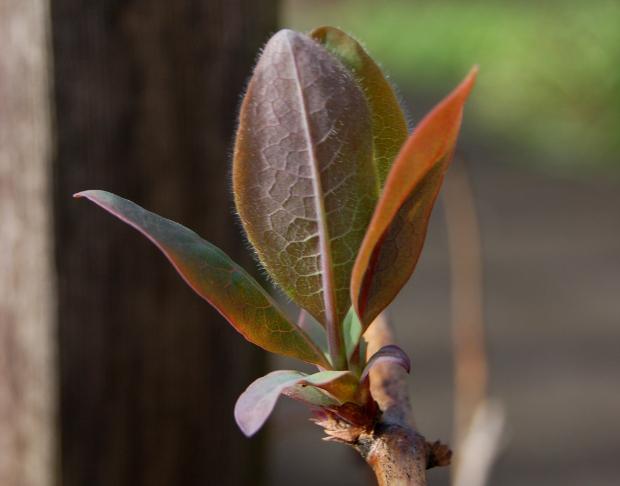 honeysuckle leafing