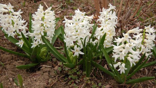 hyacinth orientalis carnegie