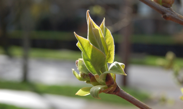 lilac leafing out