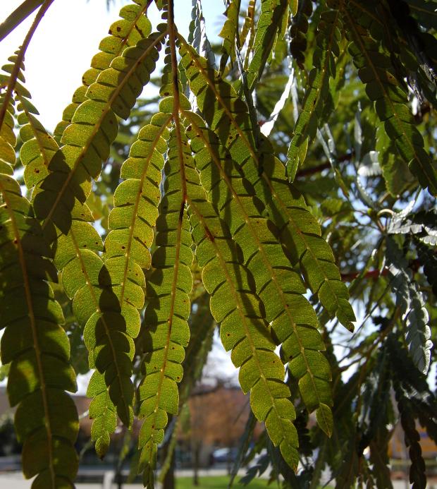 lyonothamnus floribunda backlit