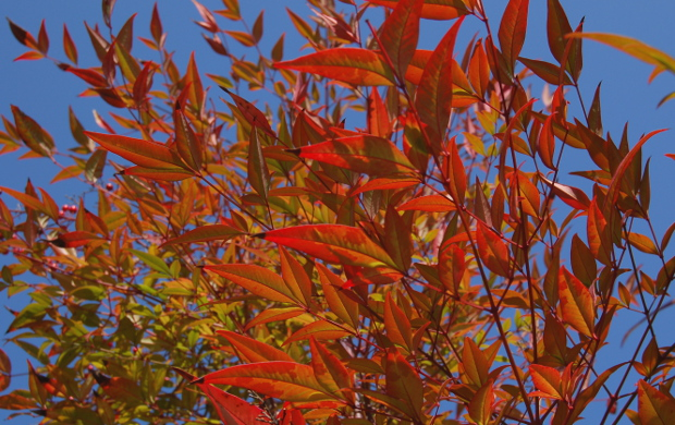 nandina domestica backlit