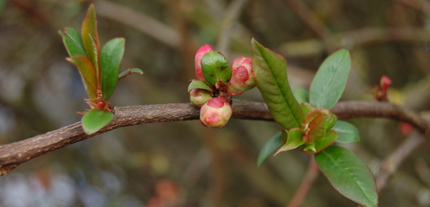 quince leafing out