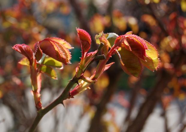 rose backlit close up