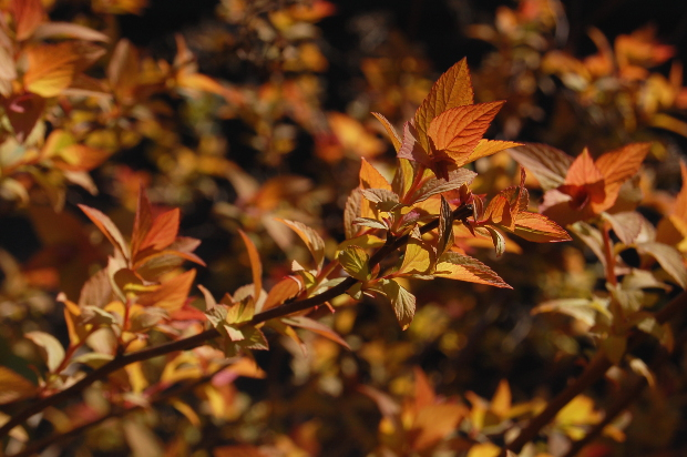 spiraea goldflame backlit