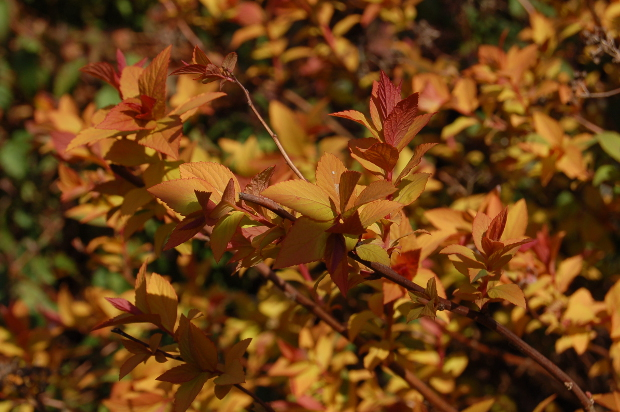 spiraea goldflame head on