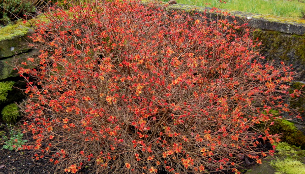 spirea leafing out