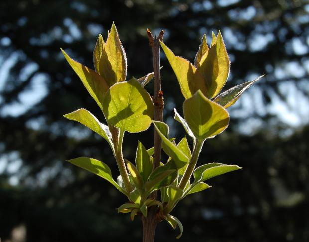 syringa vulgaris backlit